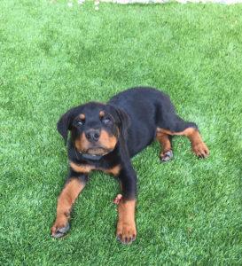 off leash puppy training